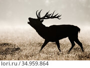 Red deer (Cervus elaphus) stag roaring during rut, silhouetted in grassland. Bushy Park, London, England, UK. October. Стоковое фото, фотограф Guy Edwardes / Nature Picture Library / Фотобанк Лори