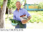 Elderly man farmer with bucket of vegetables in the garden. Стоковое фото, фотограф Татьяна Яцевич / Фотобанк Лори