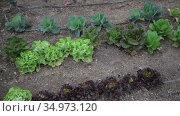 Various of green young vegetables growing in kitchen garden on spring day. Стоковое видео, видеограф Яков Филимонов / Фотобанк Лори