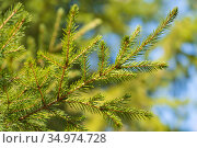 Natural evergreen branches with needles of Christmas tree in pine forest. Close-up view of fir branches ready for festive decoration for Xmas. Стоковое фото, фотограф А. А. Пирагис / Фотобанк Лори