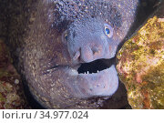 Moray Eel, Muraena helena, Cabo Cope-Puntas del Calnegre Natural Park... Стоковое фото, фотограф Alberto Carrera Anaya / easy Fotostock / Фотобанк Лори