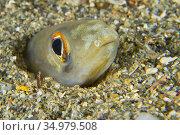 Conger eel, Arisoma balearicum, Cabo Cope-Puntas del Calnegre Natural... Стоковое фото, фотограф Alberto Carrera Anaya / easy Fotostock / Фотобанк Лори