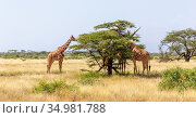 The Somalia giraffes eat the leaves of acacia trees. Стоковое фото, фотограф Eugen Haag / easy Fotostock / Фотобанк Лори