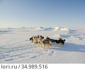 Sled dog in the northwest of Greenland during winter on the sea ice... Стоковое фото, фотограф Martin Zwick / age Fotostock / Фотобанк Лори