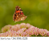 Painted lady butterfly (Vanessa cardui) flying over sedum (Hylotelephium) in a garden. Wales, UK. Summer. Стоковое фото, фотограф Andy Rouse / Nature Picture Library / Фотобанк Лори