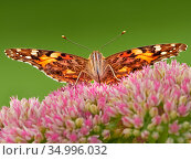 Painted lady butterfly (Vanessa cardui) feeding on sedum (Hylotelephium... Стоковое фото, фотограф Andy Rouse / Nature Picture Library / Фотобанк Лори