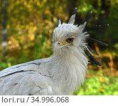 Portrait of young Secretary bird (Sagittarius serpentarius) Стоковое фото, фотограф Валерия Попова / Фотобанк Лори