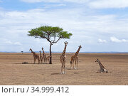 Masai giraffe (Giraffa camelopardalis tippelskirchi) herd gathered together resting, Masai Mara National Reserve, Kenya. Стоковое фото, фотограф Anup Shah / Nature Picture Library / Фотобанк Лори