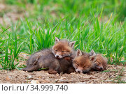 Three Red fox (Vulpes vulpes) cubs sleeping near den. Yonne, France... Стоковое фото, фотограф Cyril Ruoso / Nature Picture Library / Фотобанк Лори