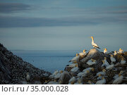 Northern gannet (Morus bassanus) colony at dusk on Great Saltee Island, Co. Wexford, Ireland, June. Стоковое фото, фотограф Guy Edwardes / Nature Picture Library / Фотобанк Лори