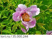 Цветок пиона кустарникового (древовидного) (Paeonia  suffruticosa) Стоковое фото, фотограф Ирина Борсученко / Фотобанк Лори