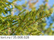 Natural evergreen branches with needles of Xmas tree in pine forest. Close-up view of fir branches ready for festive decoration for Happy New Year. Стоковое фото, фотограф А. А. Пирагис / Фотобанк Лори