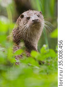 RF - European otter (Lutra lutra) captive (This image may be licensed... Стоковое фото, фотограф Edwin Giesbers / Nature Picture Library / Фотобанк Лори