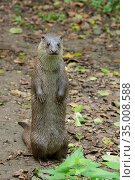 European Otter (Lutra lutra) sitting upright, Germany, captive. Стоковое фото, фотограф Edwin Giesbers / Nature Picture Library / Фотобанк Лори