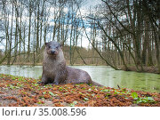 European otter (Lutra lutra) in habitat, wide angle view, Captive. Стоковое фото, фотограф Edwin Giesbers / Nature Picture Library / Фотобанк Лори