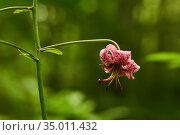Purple flower of martagon lily on a blurred natural background. Стоковое фото, фотограф Евгений Харитонов / Фотобанк Лори