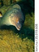 Mediterranean Moray, Muraena helena, Cabo Cope-Puntas del Calnegre... Стоковое фото, фотограф Alberto Carrera Anaya / easy Fotostock / Фотобанк Лори