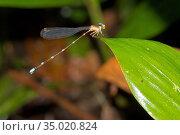 Damselfly, Sinharaja National Park Rain Forest, Sinharaja Forest Reserve... Стоковое фото, фотограф Alberto Carrera Anaya / easy Fotostock / Фотобанк Лори