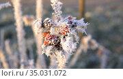 Куст шиповника морозным зимним утром. Стоковое фото, фотограф Виталий Куликов / Фотобанк Лори