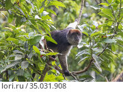 Grey-cheeked mangabey (Lophocebus albigena), also known as the white... Стоковое фото, фотограф Morales / age Fotostock / Фотобанк Лори