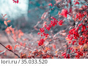 Beautiful artistic autumn garden background in pink blue tones with bush branches and bright juicy red ripe berries of useful medicinal barberry. Стоковое фото, фотограф Светлана Евграфова / Фотобанк Лори