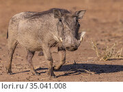 Africa, Namibia, Private reserve, Warthog (Phacochoerus africanus),. Стоковое фото, фотограф Morales / age Fotostock / Фотобанк Лори