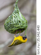 Southern Masked Weaver (Ploceus velatus), adult male building its... Стоковое фото, фотограф Saverio Gatto / age Fotostock / Фотобанк Лори