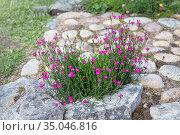 Гвоздика- травянка цветет в саду на краю дорожки. Выращивание низкорослых многолетних растений. Стоковое фото, фотограф Наталья Осипова / Фотобанк Лори
