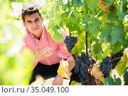 man cutting clusters of wine grape. Стоковое фото, фотограф Яков Филимонов / Фотобанк Лори