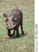Warthog, Uganda, Africa (2010 год). Стоковое фото, фотограф Знаменский Олег / Фотобанк Лори