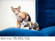 Two tricolor Sphynx cats with fur are sitting on the sofa. Mom and kitten. Стоковое фото, фотограф Екатерина Кузнецова / Фотобанк Лори
