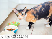Tricolor Don Sphynx cat with wool eats its food in the kitchen. Стоковое фото, фотограф Екатерина Кузнецова / Фотобанк Лори