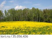 Весенний пейзаж с полем цветущего рапса (лат. Brassica napus) и лесом. Стоковое фото, фотограф Елена Коромыслова / Фотобанк Лори