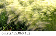 Silvery green background of perennial flowering plant of steppe feather grass. Стоковое фото, фотограф Акиньшин Владимир / Фотобанк Лори