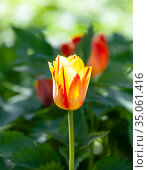 Bright bud of yellow-red tulip on a green background of meadow grass. Стоковое фото, фотограф Олег Елагин / Фотобанк Лори