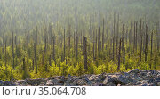 Dead trees are replaced by natural vegetation. View from the peak... Стоковое фото, фотограф Martin Zwick / age Fotostock / Фотобанк Лори
