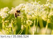 Пчёлка собирает нектар на белых цветках. Стоковое фото, фотограф Игорь Низов / Фотобанк Лори