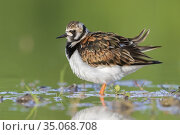 Ruddy Turnstone (Arenaria interpres), side view of an adult female... Стоковое фото, фотограф Saverio Gatto / age Fotostock / Фотобанк Лори