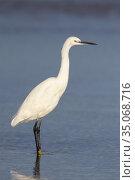 Little Egret (Egretta garzetta), idividual standing on the shore, ... Стоковое фото, фотограф Saverio Gatto / age Fotostock / Фотобанк Лори