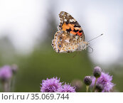 Painted lady butterfly (Vanessa cardui) in flight. Akershus, Viken... Стоковое фото, фотограф Pal Hermansen / Nature Picture Library / Фотобанк Лори