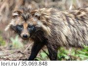 Raccoon dog (Nyctereutes procyonoides) portrait. Danube delta, Romania... Стоковое фото, фотограф Pal Hermansen / Nature Picture Library / Фотобанк Лори