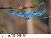 Blue jay (Cyanocitta cristata) flying, head on, Acadia National Park... Стоковое фото, фотограф George Sanker / Nature Picture Library / Фотобанк Лори