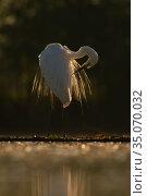 Great white egret (Egretta / Ardea alba) Pusztaszer protected landscape... Стоковое фото, фотограф Staffan Widstrand / Nature Picture Library / Фотобанк Лори