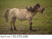 Wild-living Konik horse (Equus caballus), flehmen response, Oostvaardersplassen Nature Reserve, The Netherlands, April. Стоковое фото, фотограф Staffan Widstrand / Nature Picture Library / Фотобанк Лори
