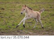 Wild-living Konik horses, (Equus caballus), foal running, Oostvaardersplassen Nature Reserve, The Netherlands, April. Стоковое фото, фотограф Staffan Widstrand / Nature Picture Library / Фотобанк Лори