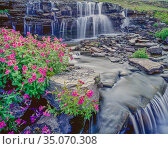 Lewis monkeyflowers (Mimulus lewisii) line the banks of Oberlin Falls, Glacier National Park, Montana, USA. Стоковое фото, фотограф Jack Dykinga / Nature Picture Library / Фотобанк Лори