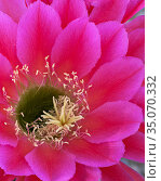 Trichocereus / Echinopsis cactus flower, native to South America and used as an ornamental plant in dry-land landscaping in Arizona, USA. This blooms for one night only. Стоковое фото, фотограф Jack Dykinga / Nature Picture Library / Фотобанк Лори