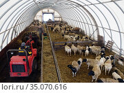 New Kaetwin, Germany, Sheep pen is mucked out (2019 год). Редакционное фото, агентство Caro Photoagency / Фотобанк Лори