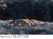 Red fox (Vulpes vulpes), Elliston, Bonavista Peninsula, Newfoundland, Canada, May 2017. Стоковое фото, фотограф Rhonda Klevansky / Nature Picture Library / Фотобанк Лори