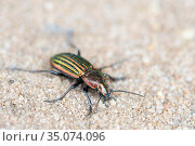 Ground beetle (Carabus nitens). Dwingelderveld National Park, The Netherlands. May. Стоковое фото, фотограф Edwin Giesbers / Nature Picture Library / Фотобанк Лори
